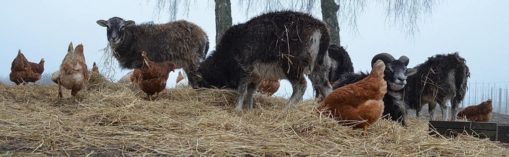 Hen over diger trimlende | Beretninger fra et autentisk landbrug