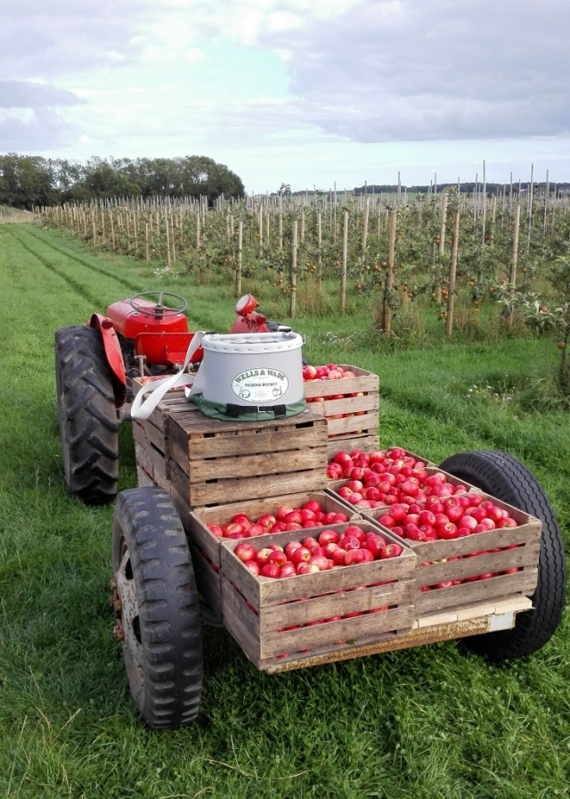 Æblehøst0001